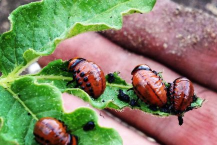 potato bugs
