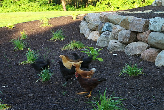 Our Chickens in the Yard
