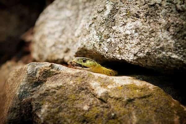 Snake Eating a Frog!