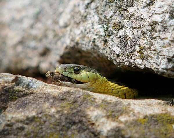 Snake Eating a Frog