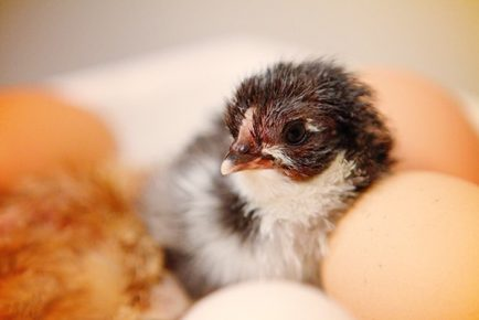 newly hatched chicken