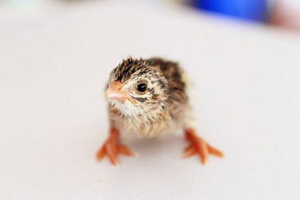 guinea baby - keet