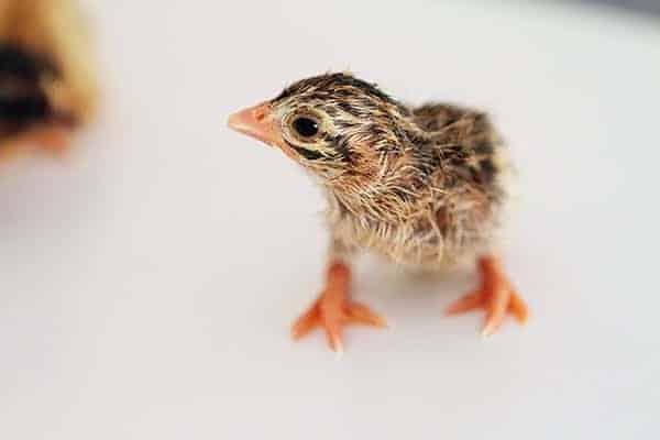 baby guinea - keet