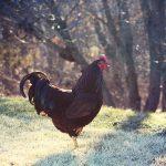 homesteading: guinea vs. rooster