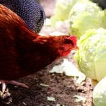 Chickens Love Cabbage!