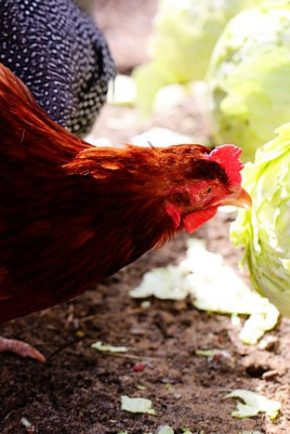 Chickens Eating Cabbage